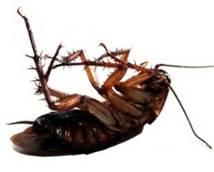 蟑螂的危害与防治_